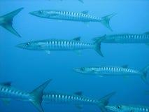 barracuda Στοκ Εικόνα