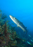 Barracuda royalty free stock images