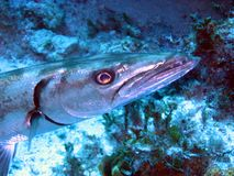 barracuda Royaltyfria Bilder