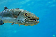 Barracuda. In the blue ocean Royalty Free Stock Image