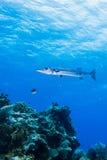 Barracuda Royaltyfri Foto