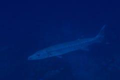 Barracuda Immagine Stock Libera da Diritti