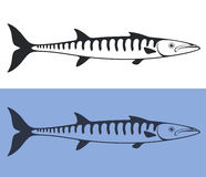 Barracuda Stock Images