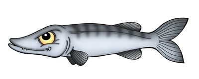 Barracuda. Color illustration of grey-blue barracuda vector illustration