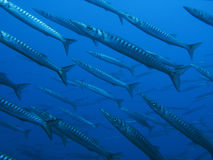 Barracuda. A shoal of barracuda fishes Royalty Free Stock Photo