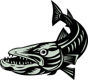 Barracuda. Vector art a barracuda isolated on white background Royalty Free Stock Photo