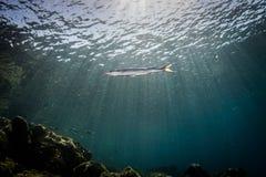Barracuda amarilla de la cola Foto de archivo libre de regalías