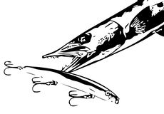 Barracuda attacking lure vector. An aggressive saltwater predatory fish attacking an artificial  lure Royalty Free Stock Photo