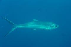 Barracuda Royalty Free Stock Photo