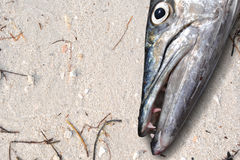 Barracuda fish head on the Beach Stock Photography