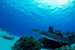 Barracuda bei der Aufwartung Stockbilder
