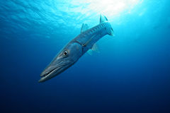 Barracuda in the Blue Royalty Free Stock Photography