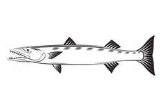 Barracuda de dessin Image stock
