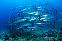 Barracuda in deep blue water. Barracudas in deep blue water while scuba diving in Sudan Royalty Free Stock Image