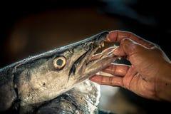 Barracuda, der Zähne zeigt Lizenzfreie Stockbilder