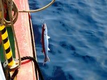 Barracuda em um gancho Imagem de Stock