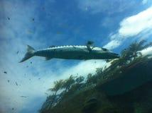 Barracuda en el cielo Fotos de archivo libres de regalías