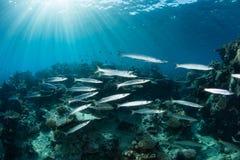 Barracuda et lumière du soleil Photo stock