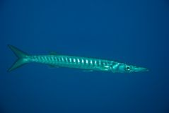Barracuda européen. Images stock