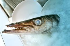 Barracuda fish head. On the ice is photographed close-up Royalty Free Stock Photography