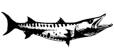 Barracuda fish I.  vector Royalty Free Stock Photos