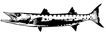 Barracuda fish II.  vector Stock Photography