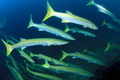 Barracuda fish. School on coral reef Royalty Free Stock Photo