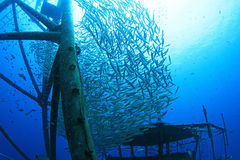 Barracuda fish. At ship wreck Royalty Free Stock Photos