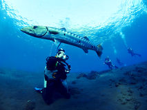 Barracuda fish. Shooting great Barracuda fish and scuba divers Royalty Free Stock Image