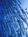 Barracuda fish swarm. Swarm of Barracuda fish in clear blue sea Royalty Free Stock Image