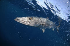 Barracuda fish swimming in blue ocean water. Barracuda fish swimming in blue Atlantic ocean water Royalty Free Stock Photography