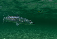 Barracuda fish swimming in ocean. Barracuda fish swimming underwater in Atlantic ocean Royalty Free Stock Image