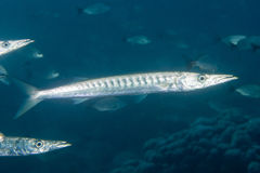 Barracuda Fish underwater. Close up portrait Royalty Free Stock Images