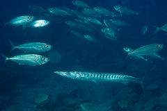 Barracuda Fish underwater Royalty Free Stock Photo
