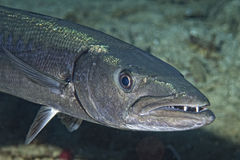 Barracuda Fish underwater. Close up portrait Stock Photo