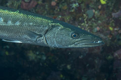Barracuda Fish underwater. Close up portrait Stock Photography