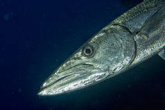 Barracuda Fish underwater. Close up portrait Royalty Free Stock Photography