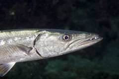 Barracuda Fish underwater. Close up portrait Royalty Free Stock Photos