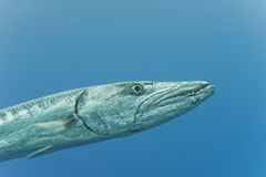 Barracuda Fish underwater. Close up portrait Stock Photo