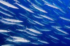 Barracuda Fish underwater Royalty Free Stock Photos