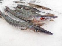 Barracuda frais sur la glace Images stock