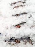 Barracuda frais sur la glace Photo stock