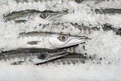 Barracuda fresca Imagens de Stock