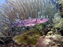 Barracuda gigante Immagini Stock Libere da Diritti