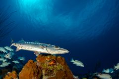 Barracuda hunting over a coral reef royalty free stock image