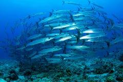 Barracuda i djupblått vatten royaltyfri bild
