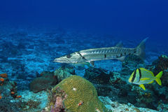Barracuda) and Porkfish - Cozumel Royalty Free Stock Photo