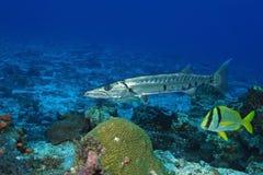 Barracuda) and Porkfish - Cozumel. Barracuda (Sphyraena barracuda) and Porkfish (Anisotremus virginicus) - Cozumel, Mexico Royalty Free Stock Photo