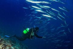 Barracuda school of Fish underwater. Diver while entering a Barracuda Fish bait ball Stock Image