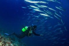 Barracuda school of Fish underwater Stock Image